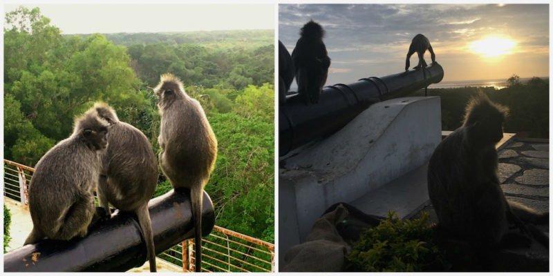 The silver leaf monkeys enjoying the sunset at Bukit Melawati near Kuala Lumpur, Malaysia