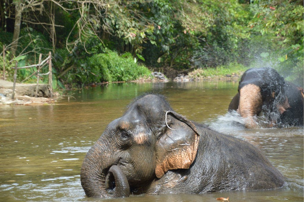 Asian Elephant at an elephant sanctuary playing in the river