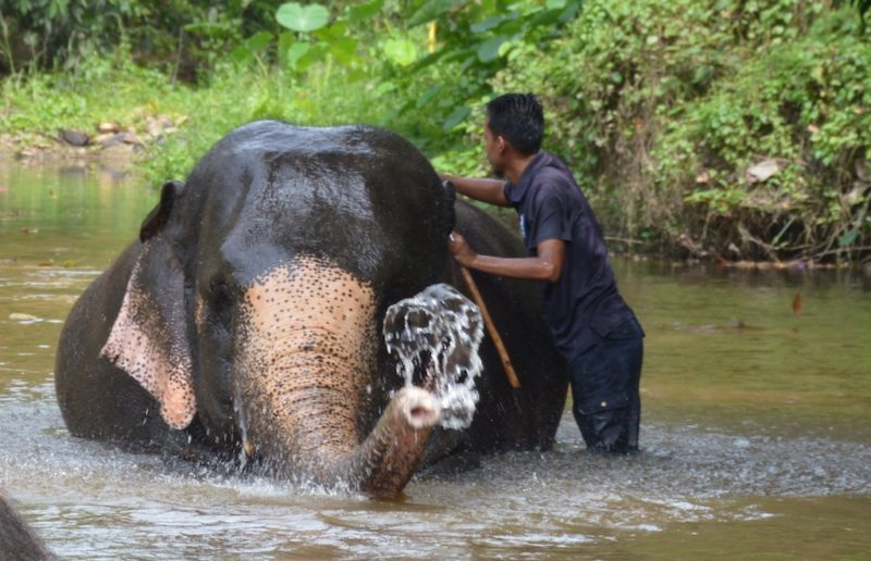 Asian Elephant getting his daily bath