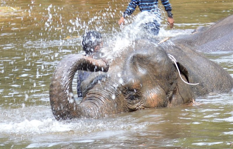 Asian Elephant playing in the river