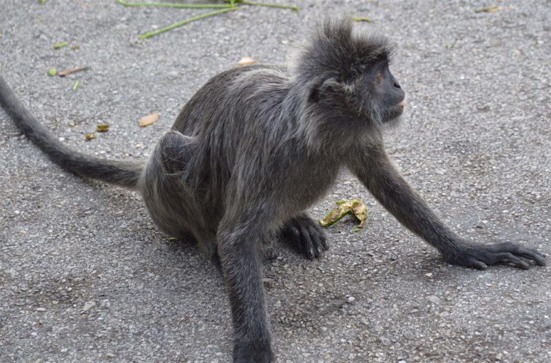 A gentle silver leaf monkey at Bukit Melawati near Kuala Lumpur, Malaysia