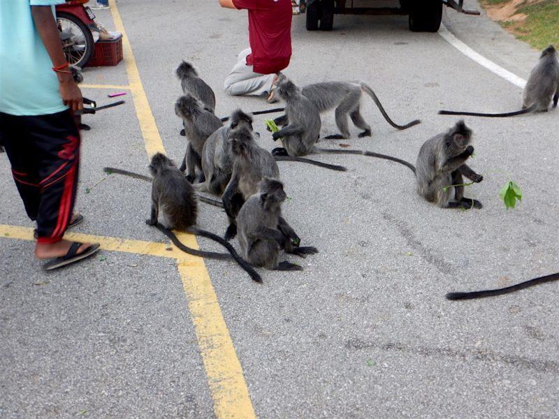 Silver Leaf Monkeys at Bukit Melawati near Kuala Lumpur, Malaysia