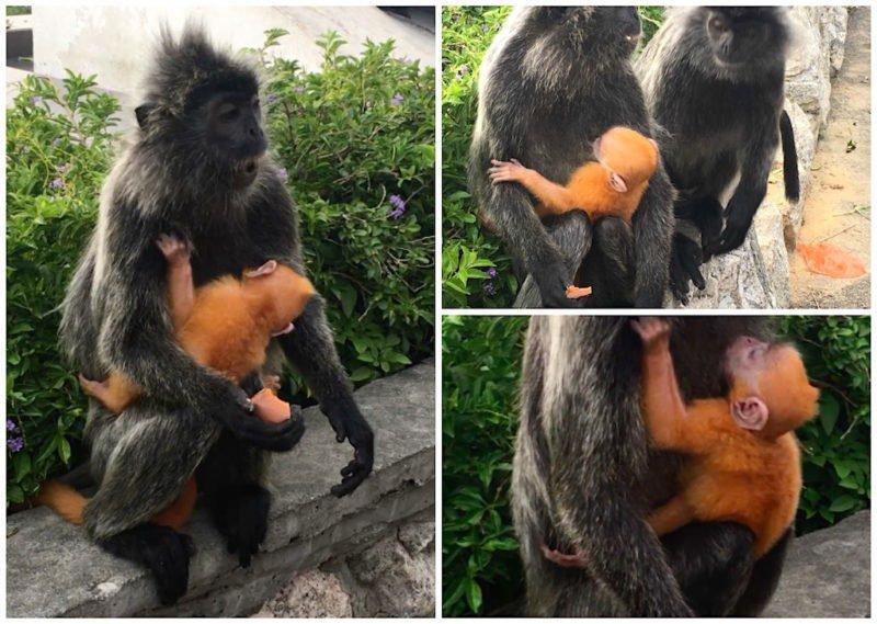 Orange Baby Silver Leaf Monkey at Bukit Melawati near Kuala Lumpur, Malaysia