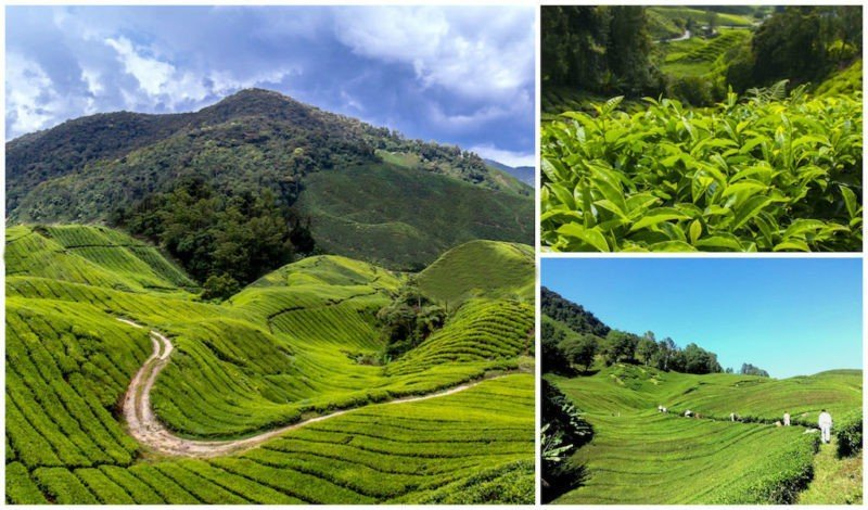 The hills and tea plantations of Cameron Highlands near Kuala Lumpur