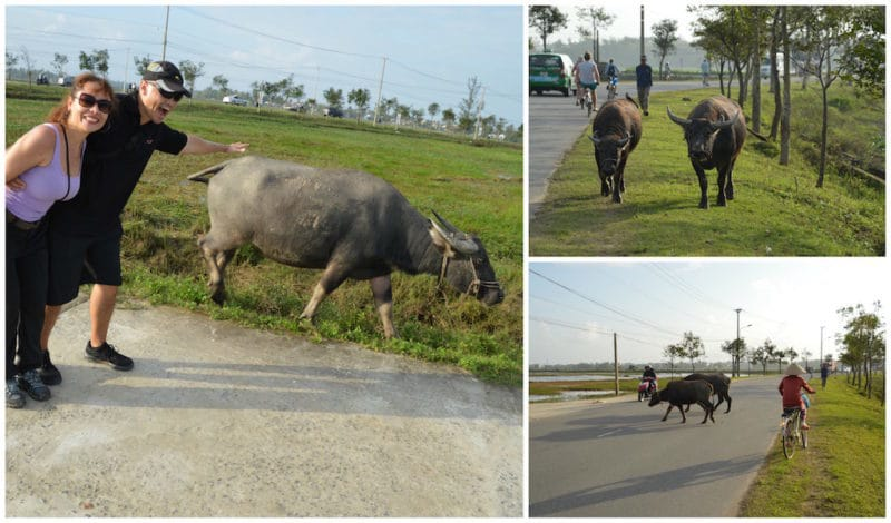 Iconic Vietnamese Water Buffalo Are Everywhere - things to do in Hoian, Vietnam