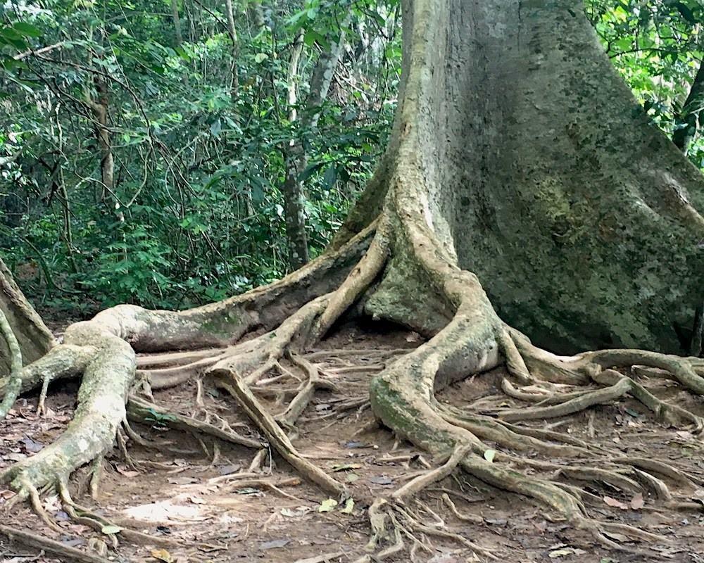 This is one of many massive old trees at Taman Negara near Kuala Lumpur in Malaysia