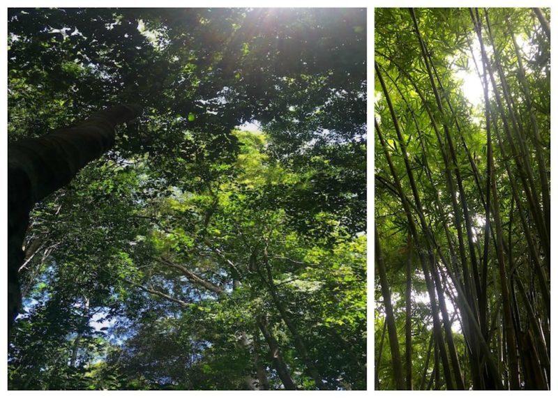 Yellow Meranti Trees - Bamboo Trees at Taman Negara near Kuala Lumpur in Malaysa