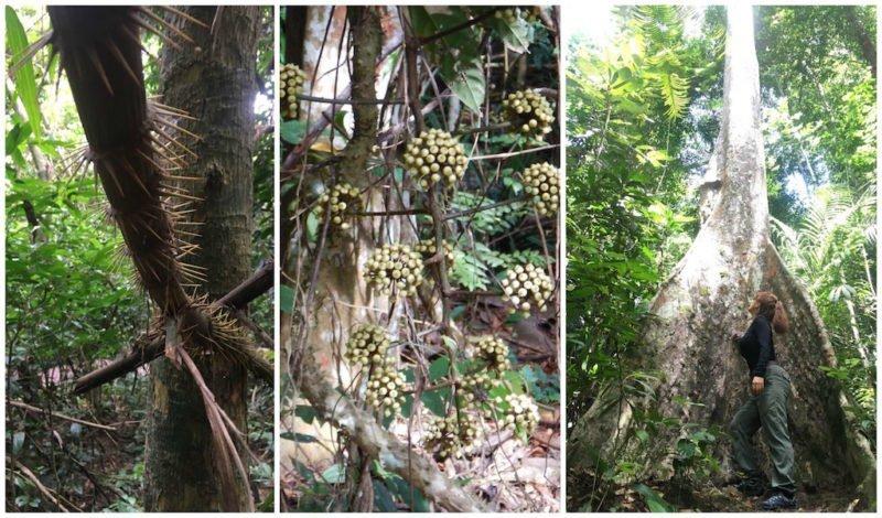 Rattan, Medicinal Plants, and Ancient Trees at Taman Negara near Kuala Lumpur in Malaysia