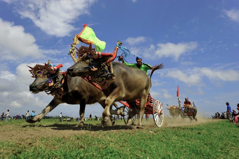 Makepung Water Buffalo Races – Thrilling Things to do in Bali, Indonesia