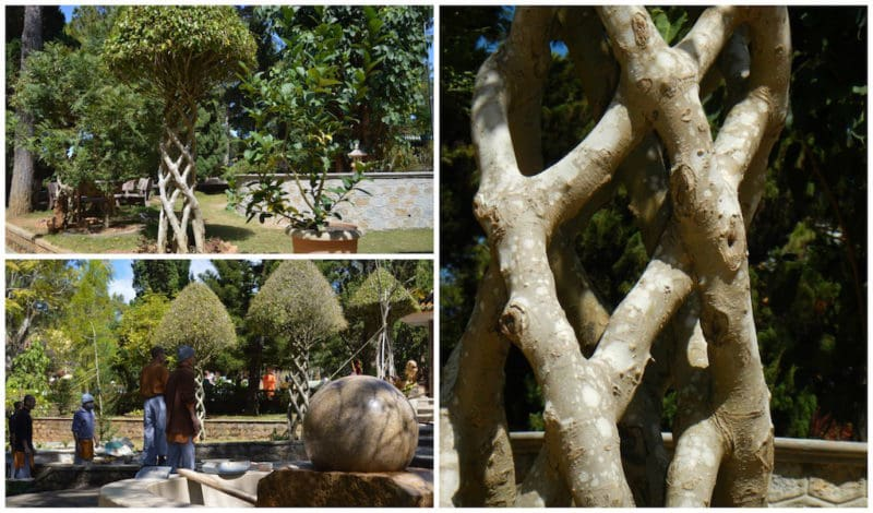 "The ""Zen Trees"" with Intertwining Trunks in Dalat, Vietnam. Central Vietnam in Southeast Asia."
