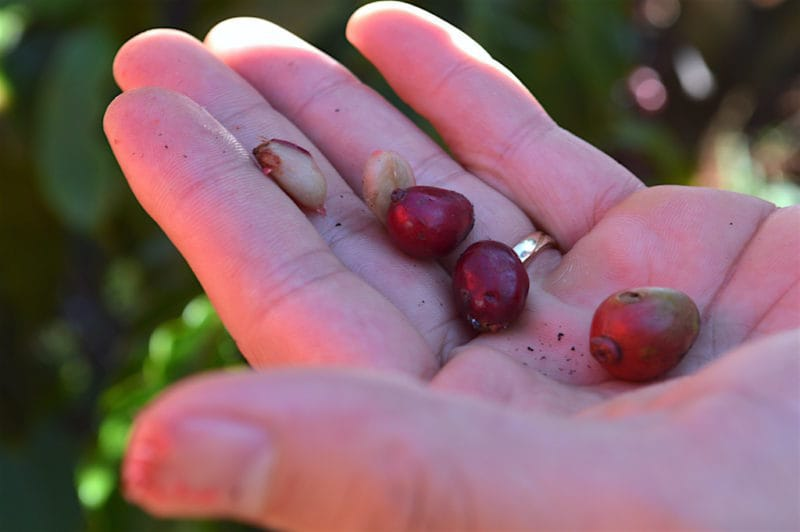 Coffee Berries at the Dalat Coffee Plantation in Da Lat, Vietnam. Central Vietnam in Southeast Asia