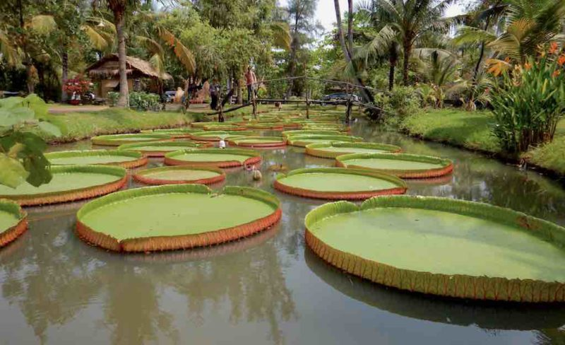 Giant Lily Pads at Binh Quoi Village in Saigon Vietnam. Ho Chi Minh City in Southeast Asia South Vietnam